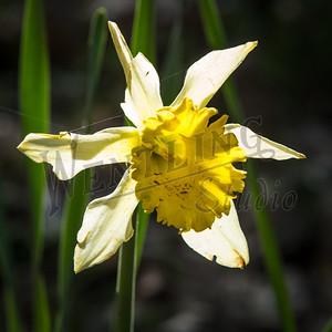 DaffodilHill2535