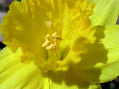 Daffodil by Richard Lazzara
