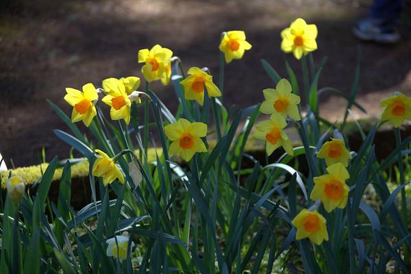 Daffodil Hill April 4, 2011