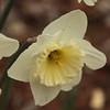 daffodil-032810_173811