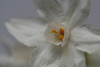 20080119 Paperwhite Narcissus Daffodil on my table (4 of 7)