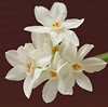 20080119 Paperwhite Narcissus Daffodil on my table (7 of 7)