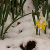 Daffodils in Snow-02192012-161948(f)