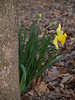 Daffodil in Sellersville woods