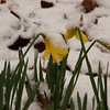 Daffodils in Snow-02192012-161943(f)
