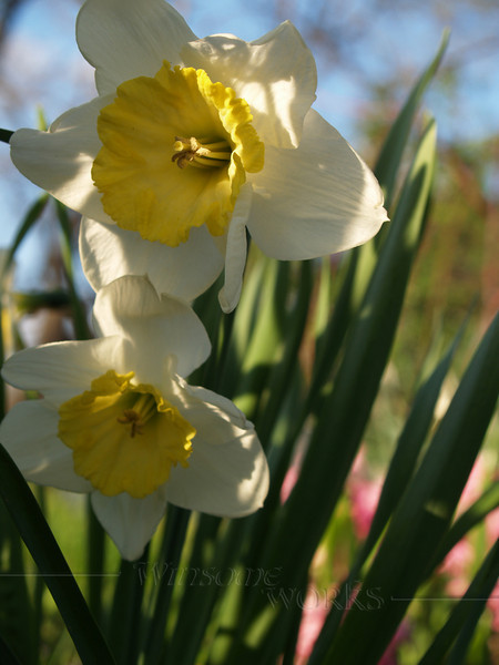 Daffodils, afternoon lighting