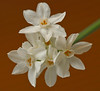 20080119 Paperwhite Narcissus Daffodil on my table (5 of 7)