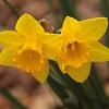 daffodil-032810_173441