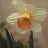 daffodil-032810_173747