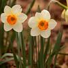 daffodil-032810_173352a