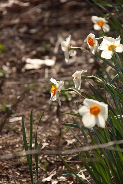 Daffodils-03172012-165339(f)