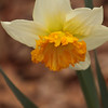 daffodil-032810_173721