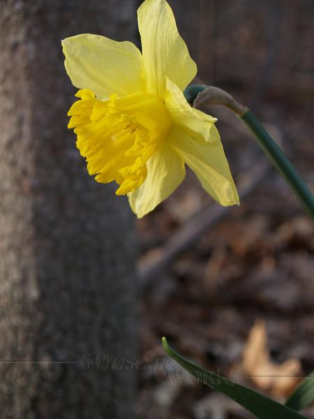 Daffodil in Sellersville woods