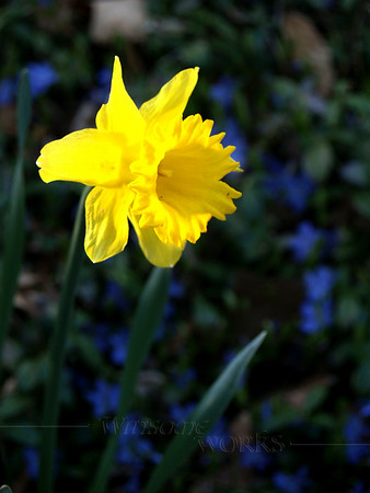 Daffodil with periwinkle in background