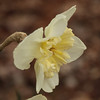 daffodil-032810_173812