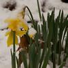 Daffodils in Snow-02192012-161946(f)