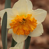 daffodil-032810_173635