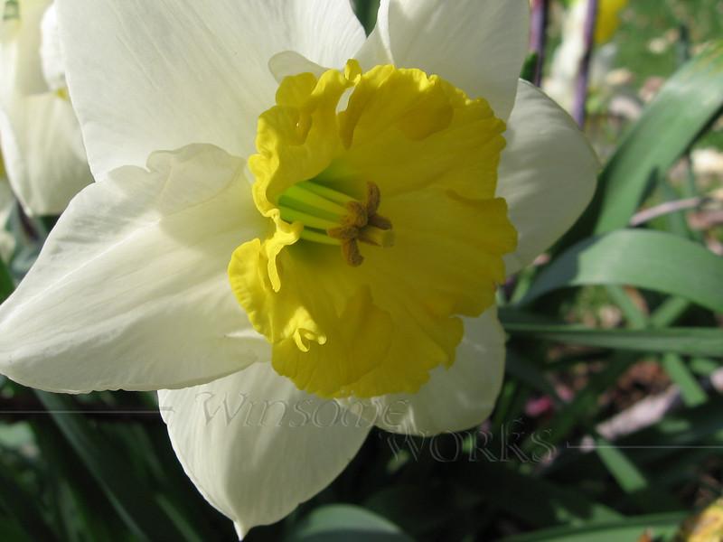 Daffodil macro