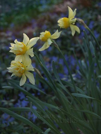 Late Afternoon Daffodils and Periwinkle (Vinca) Vine
