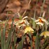 Daffodils-03072012-160559(f)