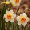 daffodil-032810_173353a
