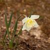 Daffodils-03152012-163350(f)