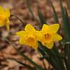 daffodil-032810_173445