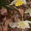 daffodil-032810_173831a