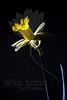 Flower pictured :: Daffodil<br /> <br /> 030112_002705 ICC adobe 16in x 24in pic