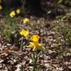 daffodils-041110_093957