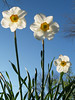 Jonquils, back-lit