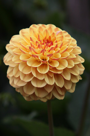 Dahlia Garden 2010