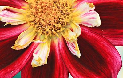 Fading glory of a dahlia