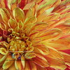 Apple Blossom Dahlia - Macro