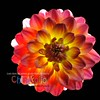 Bucket Dahlia - Version ONE