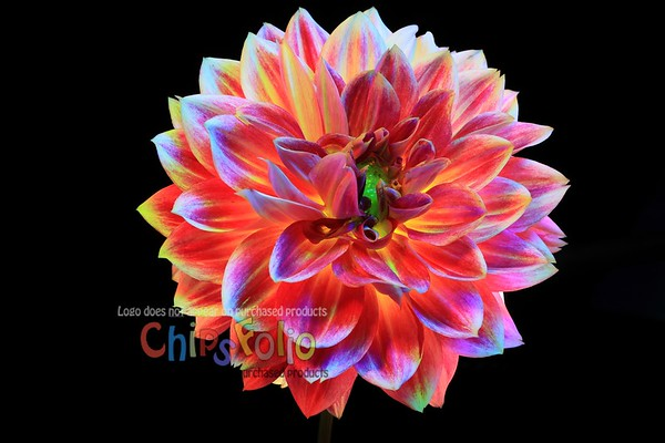 Another Colorful Dahlia