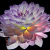 Backlit Dahlia - Version THREE