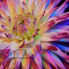 Cactus Dahlia Macro  - Version TWO