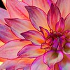 Sumptuously Colored Dahlia