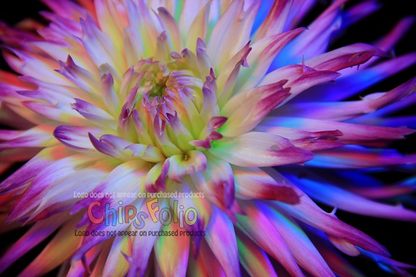 Cactus Dahlia Macro  - Version ONE