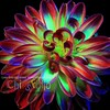 Colorful Dahlia
