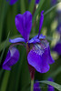 Solitary Purple