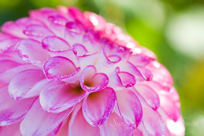 Dew + Dahlia = Delight!