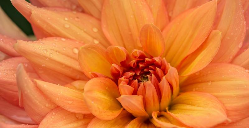 Rainy Dahlia (pano crop)