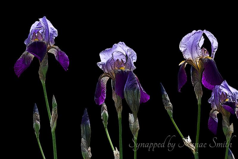 I Shall Wear Purple (horizontal)