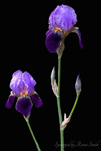 I Shall Wear Purple II (vertical)