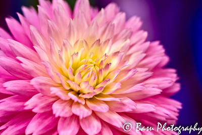 Dahlias and Bees