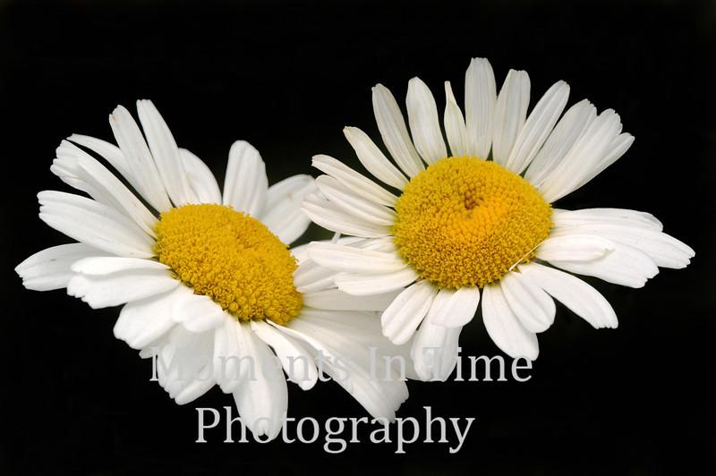 Daisy pair
