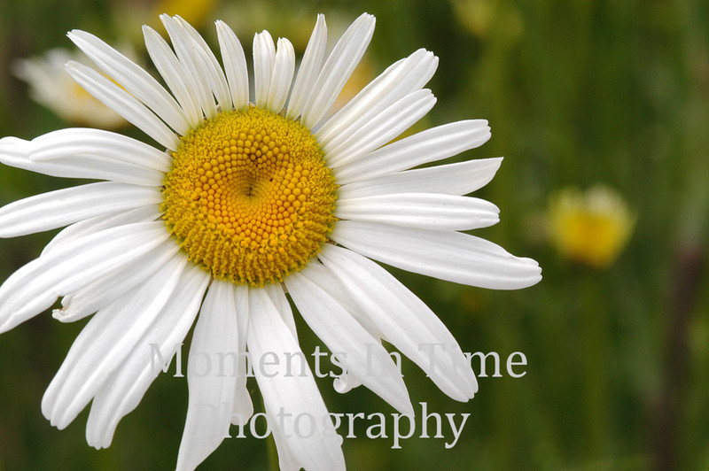 Magnificent daisy