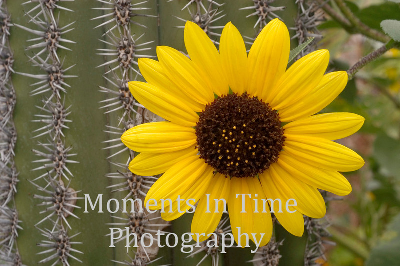 Sunflower and cactus